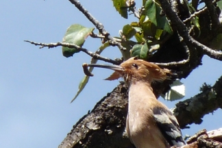 Common Hoopoe1