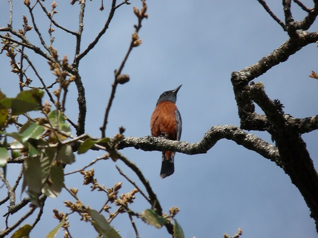 Bue fronted Redstart