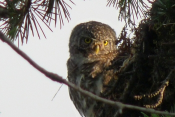 Collared Owlet On The Deodar Outside