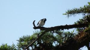 White browed shrike Babler