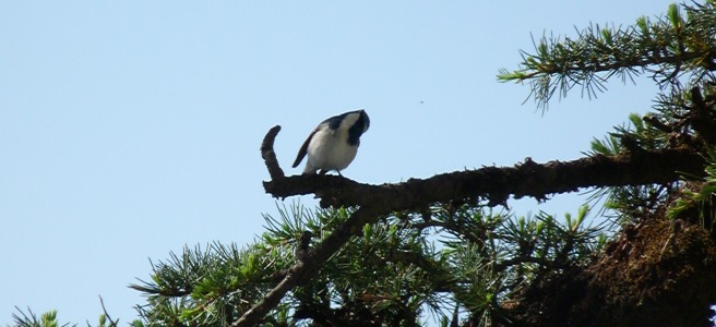 White browed shrike Babler