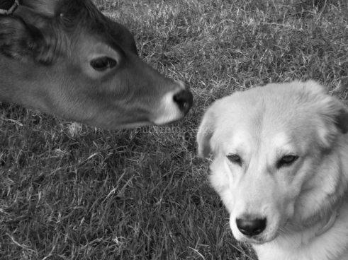 [ Kajal with a friendly calf]