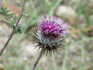 Kind of Thistle