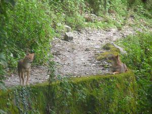 Backyard jackals
