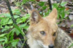 'Mama' Himalayan Jackal<br />Canis aureus indicus