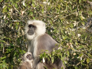 Mama. Just another day in her Langur world!