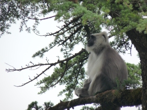 """I found this """"Meditating"""" Langur looking comfortable in a yoga pose He was perched on the deodar for the longest time looking like he hadn't a care in the world while his whole troupe was foraging in the trees below."""
