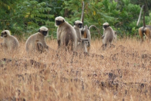 Langurs of the Plains