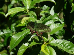 Himalayan butterfly