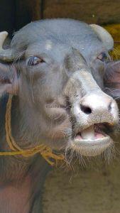 'Himalayan' Buffalo