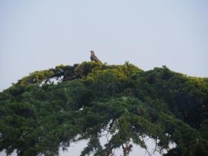 Cuckoo (himalayan)