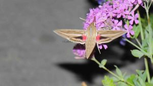 #Hippotion_celerio _or _Vine_Hawk_Moth