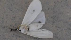 Ant vs Moth