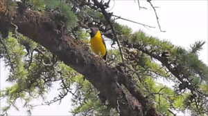 #Black-and-yellow grosbeak (Mycerobas icterioides)
