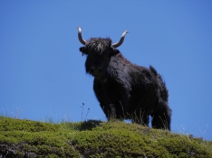yak on watch