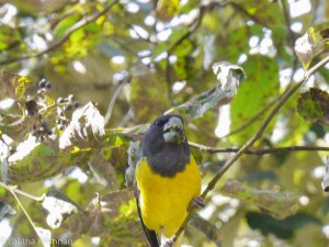 The Black-and-Yellow Grosbeak. Photo: Lalitha Krishnan