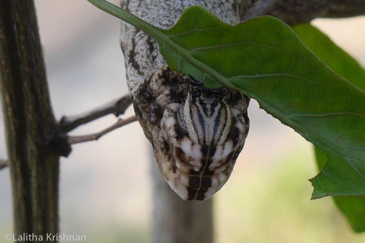 The mouth of an Himalayan caterpillar up close with cobra-like markings