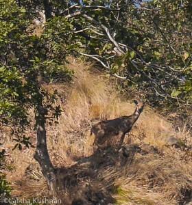 Goral fawn