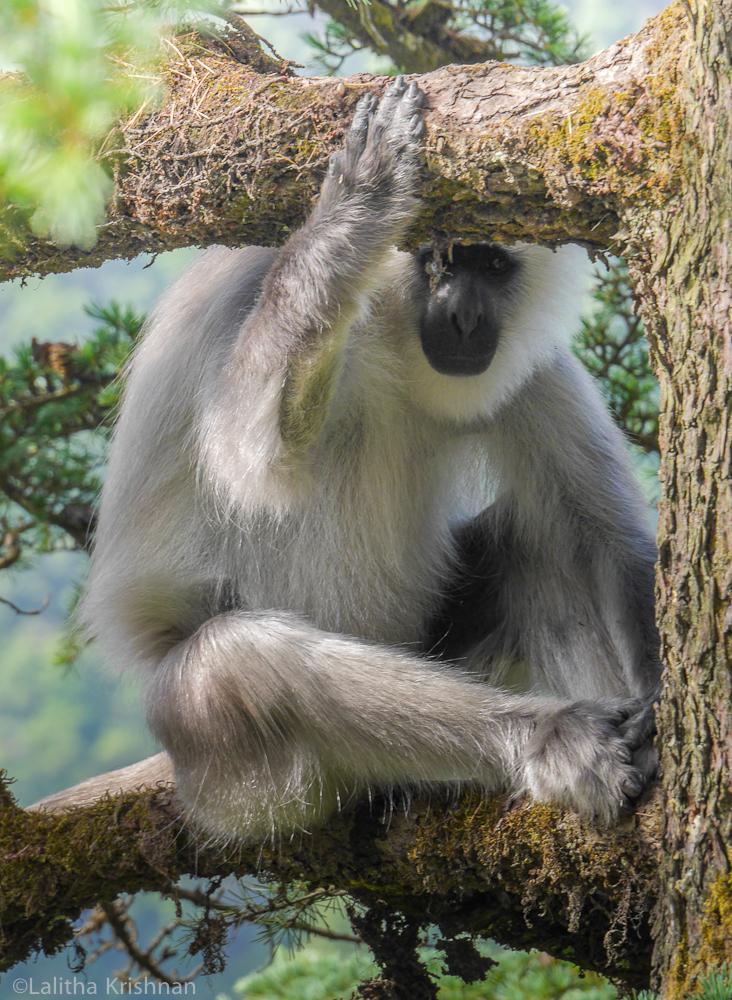 A Grey langur watches me watch him. Photo credit: Lalitha Krishnan