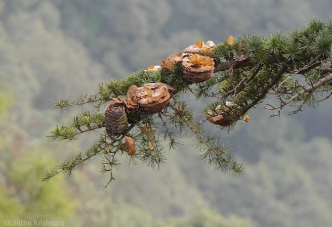 Deodar cones dispersing seeds in winter. Photo credit: Lalitha Krishnan