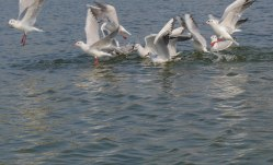 Birds of Nalsarovar Lake Jan 2016-2