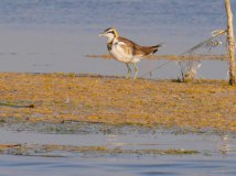 Birds of Nalsarovar Lake Jan 2016-8