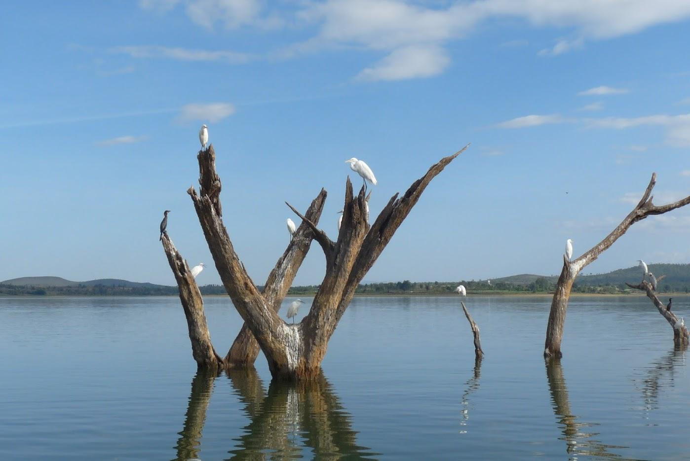 birds on dead tree trunks