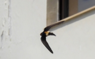 Migratory Barn swallows in Landour . Lalitha Krishnan Photos