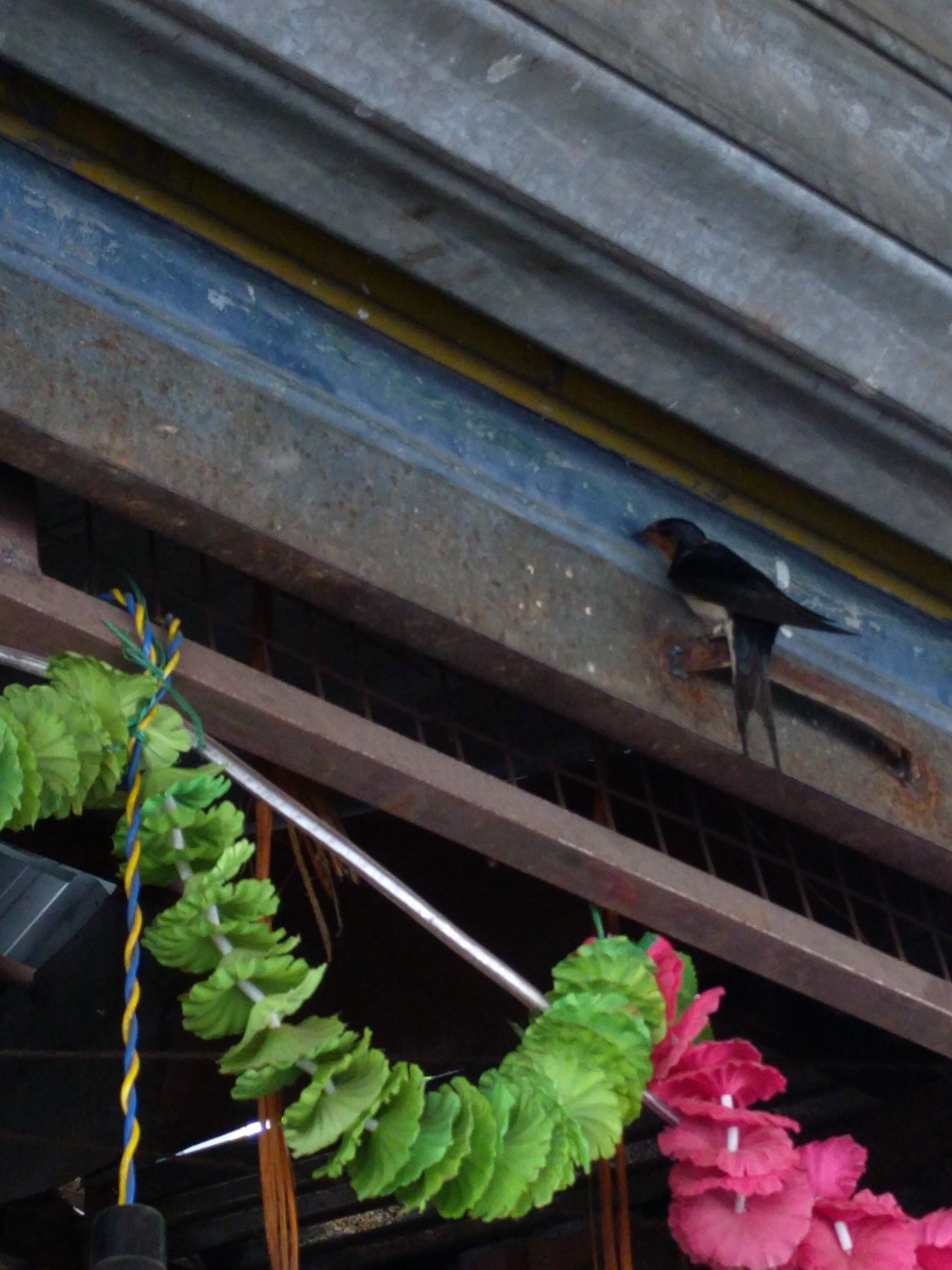 A summer visitor - swallows in Landour