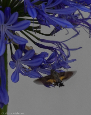 Agapanthus, verbena and cosmos attract hawk moths.
