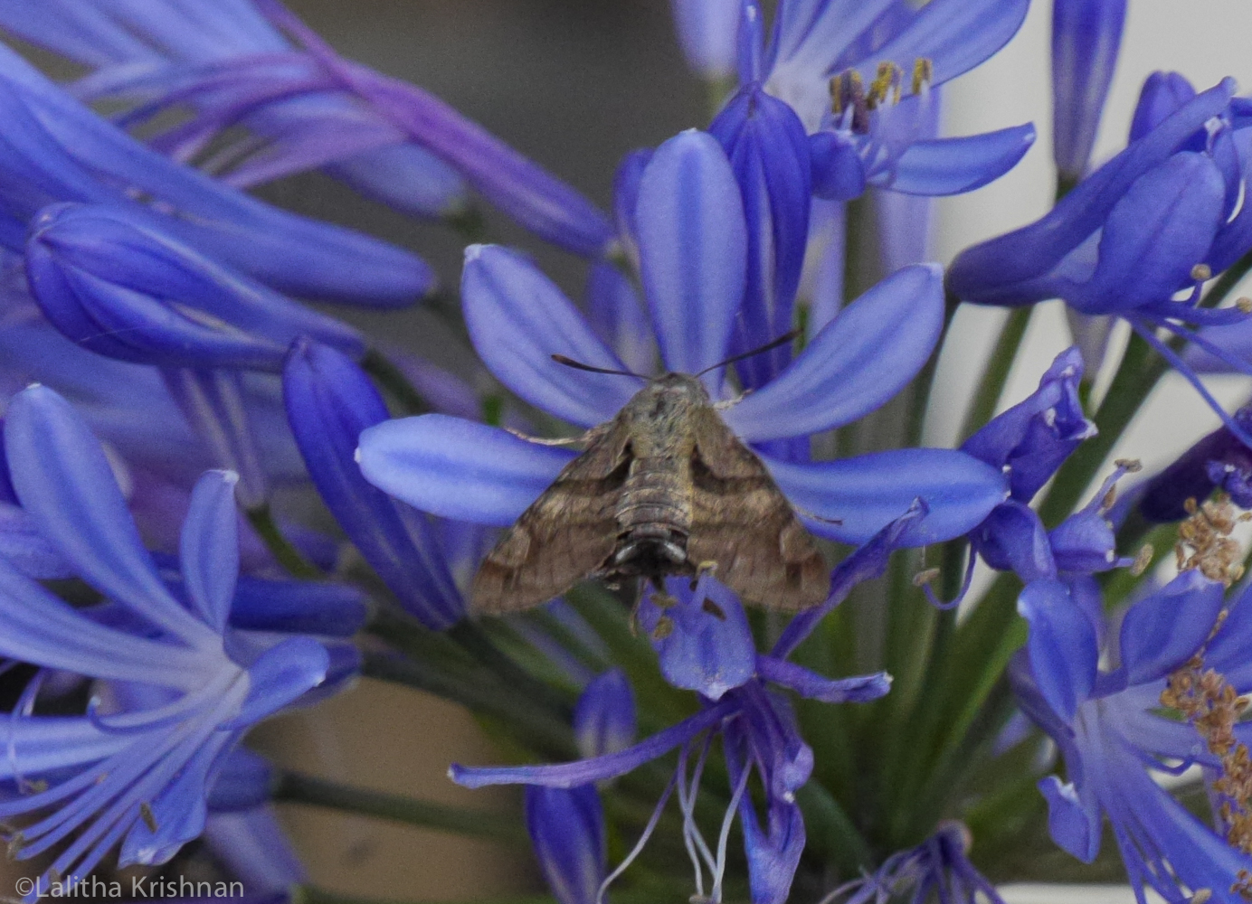 The hawk moth looks dull when sipping.