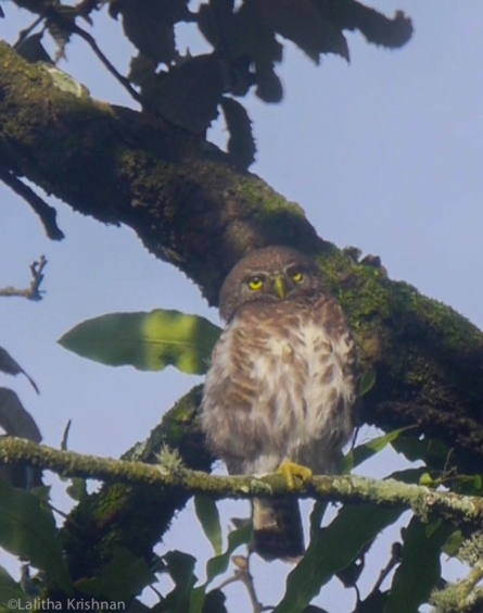 2018 Aug 2 Collared owlet on oak morning copy